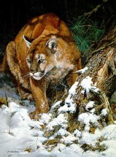 John Seerey-Lester ...Winter ♥♥ Mountain Lion