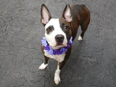 Manhattan Center SUZY – A1071839  FEMALE, BR BRINDLE / WHITE, AM PIT BULL TER MIX, 3 yrs STRAY – ONHOLDHERE, HOLD FOR EVICTION Reason OWN EVICT Intake condition UNSPECIFIE Intake Date 04/28/2016, From NY 10457, DueOut Date05/06/2016,