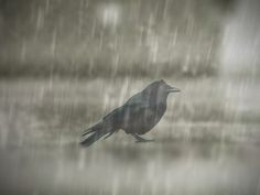 """""""it cant rain all the time"""" u kno where that quote is from, this is the only pic of a crow in the rain i cud find"""
