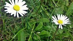 Gänseblümchen die Heilpflanze