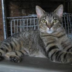 Mirabeau has lovely markings. She is a beautiful Tabby girl awaiting her new home.