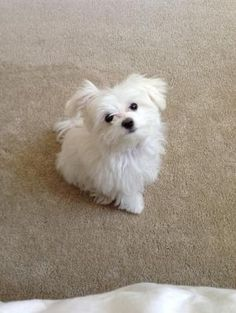 Maltese puppy by Rebeccalennox