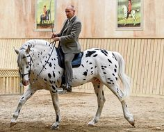 """Hugin, Knabstrupper-stallion, born 1986: Bent Branderup says:""""Hugin is the """"Grand-senior"""" in the stable. He has accompanied me on the way to the Academic Art of Riding. As a youngster he had an accident in which he broke both his haunches and broke the splint bone in his left frontleg. For more than 15 years he has been totally blind. Through him, I learned not to use the horse for the dressage, but the dressage for the horse""""."""