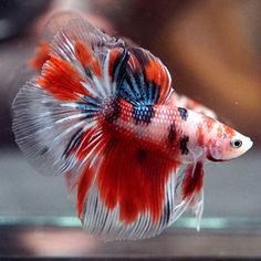 Fancy-034-RED-KOI-Showa-Sanshoku-034-Halfmoon-HM-Male