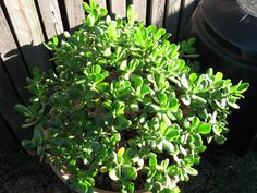 My African Large Leaf Jade just put into its new pot... It looks like it's uncomfortable - but it's 2010, give it time.