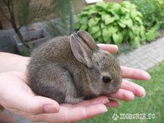 zakrslé zajace