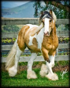 Post your favorite Gypsy Horse! gypsy vanners, cobs, sport horses.... - Page 3