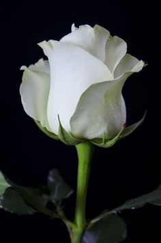 White Roses make me happy Beautiful Rose Flowers, Love Rose, Amazing Flowers, White Flowers, Red Roses, Beautiful Flowers, Single Rose, Arte Floral, Types Of Flowers