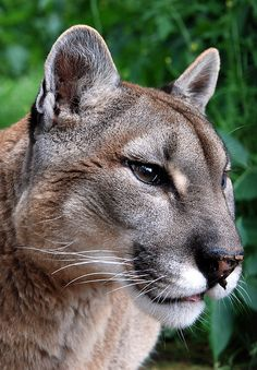 Just look at the perfectioin or every detail. What a God we have! Puma - Stunning Photo ! #animals