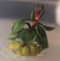 Drosera praefolia