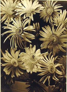 Olive Cotton (1911-2003) -   Gerberas, c1935