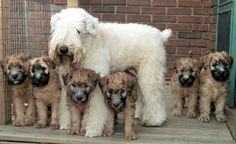 soft coated wheaten babies! I love how the babies are born darker then lighten with age! :)