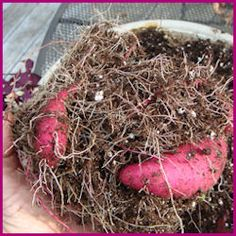 store tubers in a cool dry place over the winter.  directions for starting them in spring.