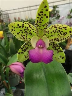 Green Orchid, Orchid Plants, Growing Orchids, Flora, Gardens, Nature, Photos, Photography, Naturaleza