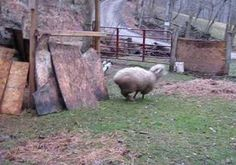 Sheep and Dog Are Adorable Best Friends   Storyful