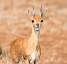 Steenbok by Neil Roux