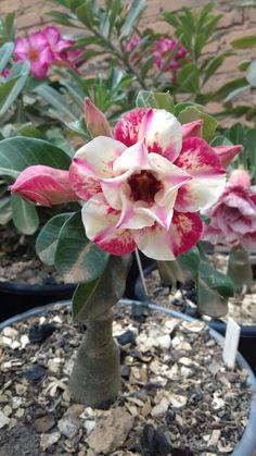 Desert Rose, Plants, Succulents, All About Plants, Beautiful Flowers, Adenium, Flowers, Desert Rose Plant, Colorful Garden