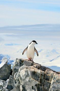 """ A chinstrap penguin enjoys the view from on top of the rocks at Neko Harbor, Antarctica (by Lin Pernille Photography) "" Penguin Life, Penguin Art, Penguin Images, Club Penguin, Penguin Books, Penguins And Polar Bears, Cute Penguins, Galapagos Penguin, Penguin Species"