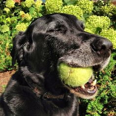 Dog days of summer. #dog #dogs #lab #labrador #retriever #labradorretriever #blacklab #blacklabrador #katanddog