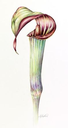 Jack-in-the-Pulpit by Debbie Bankert - Botanical Artists