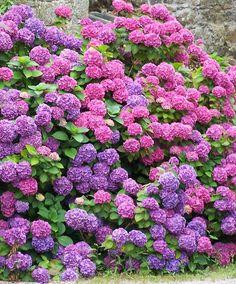 Hydrangea (Hortensia), Bretagne, France