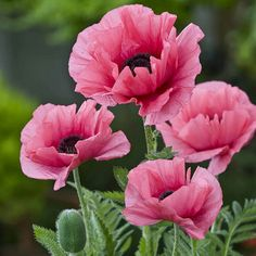 Noted for its luminous blooms, Oriental Poppy 'Burning Heart' (Papaver Orientale) produces semi-double, crepe papery, bright reddish-pink flowers with dark purple eyes and reddish centers. Pink Poppies, Pink Flowers, Poppy Flowers, Poppies Poem, Poppies Art, Exotic Flowers, Yellow Roses, Papaver Orientale, Rosa Coral