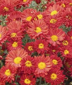 Chrysanthemum | 'Mammoth Daisy Bronze'
