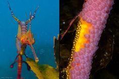 Close-up de um dragão-marinho-comum (esquerda) e ovos pendurados no dragão-marinho-comum macho (direita).