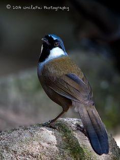 Black-throated Laughingthrush (Garrulax chinensis) | Flickr - Photo Sharing!