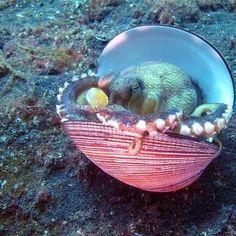 ♒ ĊṜƹคŤʊṜƹ§ ᎧŦ Ťђє §ƹค ♒ <º))))>< ~~~ Baby Octopus in shell Beautiful Creatures, Animals Beautiful, Baby Octopus, Life Aquatic, Underwater Life, Ocean Creatures, All Nature, Mundo Animal, Sea And Ocean