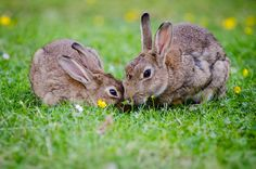 Raising rabbits can provide a nice supplemental small farm income while also providing you with pelts and meat for your own family. Rabbit Eating, Hamster Eating, Giant Rabbit Breeds, Watership Down Book, Rabbit Farm, Rabbit Hole, Raising Rabbits, Bunny Images, Small Farm