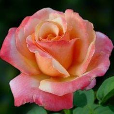 Beautiful Rose Flowers, Pretty Roses, Hybrid Tea Roses, Rose Photos, House Plants, Flower Power, Natural, Rainbows, Butterflies