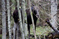 Metsatukas sügisseent pildistama jäädes ehmatas mind üles põõsa tagant kostuv tugev ragin. Pilku tõstes selgus, et see oli põder kes oli la... Goats, Animals, Animales, Animaux, Animal, Animais, Goat