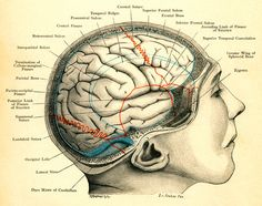 Diagram of the Human Brain