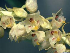 Eria apertiflora