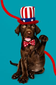 The 4th of July is a fun holiday for humans, but for dogs, it means loud fireworks and an above average amount of commotion around the neighborhood. You might not think twice about it, but even if you don't have a normally anxious dog, it's a good idea to take a few extra precautions this holiday to keep your dog calm, cool, and collected. Chocolate Labrador Retriever, Labrador Retriever Dog, American Labrador, Golden Labrador, Black Labrador, Dog Walking, Dog Owners, Cute Puppies, Lab Puppies
