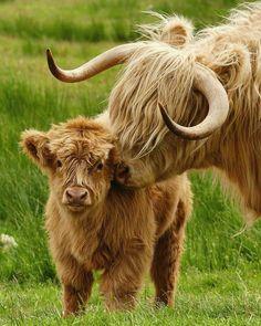 farm animals Im in love Happy Coosday! - Cassandra Zilker - farm animals Im in love Happy Coosday! farm animals Im in love Happy Coosday! Highland Calf, Scottish Highland Cow, Scottish Highlands, Baby Highland Cow, Highlands Scotland, Scotland Castles, Skye Scotland, Cute Baby Cow, Baby Cows