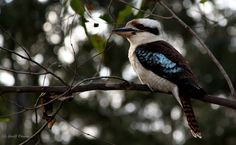 Kookaburra, Lilli Pilli NSW, South Coast, NSW, Australia. (c) Geoff Payne