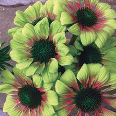 Green Envy™ Coneflower. Zones 3-10. Drought resistant & can be planted in full sun to part shade. Can be purchased from Michigan Bulb Company - my new favorite plant source!