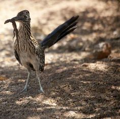 roadrunner, the state bird of new mexico