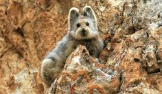 Ili pika (Ochotona iliensis) is an endangered species that until last year, had not been seen in 20 years... Image credit Li Weidong via scientficamerican #Pika #China