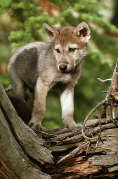 Kunst Bilder- Little Wolf on tree - Awesome Art Pins Beautiful Wolves, Animals Beautiful, Funny Bird, African Wild Dog, Wolf Stuff, Wolf Spirit Animal, Coyotes, Wolf Love, Wolf Pictures