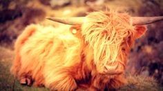 Highland cattle. http://www.visiontimes.com/2015/04/27/this-highland-tour-confirms-all-my-scottish-road-trip-fantasies.html