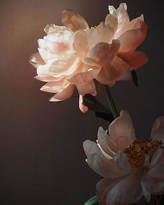 The light in studio and those fading coral Peonies Fresh Flowers, Beautiful Flowers, Exotic Flowers, Purple Flowers, White Flowers, Best Design Blogs, Coral Peonies, Flower Aesthetic, Aesthetic Beauty