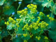 Lady's Mantle (alchemilla mollis) by Wendy Kremer