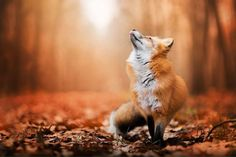 RED FOX LISTENING TO FOREST SOUNDS <3