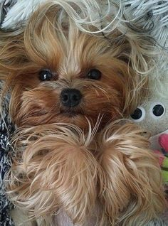 Kittens And Puppies, Cute Puppies, Cute Dogs, Best Dog Breeds, Best Dogs, Miss My Dog, Yorshire Terrier, Elvis Presley Images, Yorky
