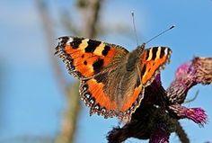 Papillon, Petit Renard