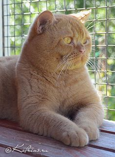red british shorthair