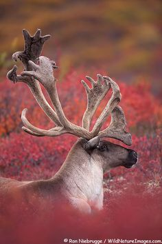 #Caribou Image     -   http://vacationtravelogue.com Easily find the best price and availability   - http://wp.me/p291tj-7n
